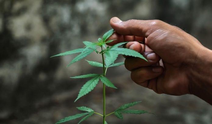 ¿ Tener un trabajo relacionado con la marihuana puede afectar el estatus migratorio?